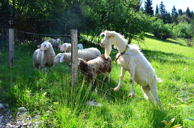 Sheep and Buck. Rudnica Trail (route 22)
