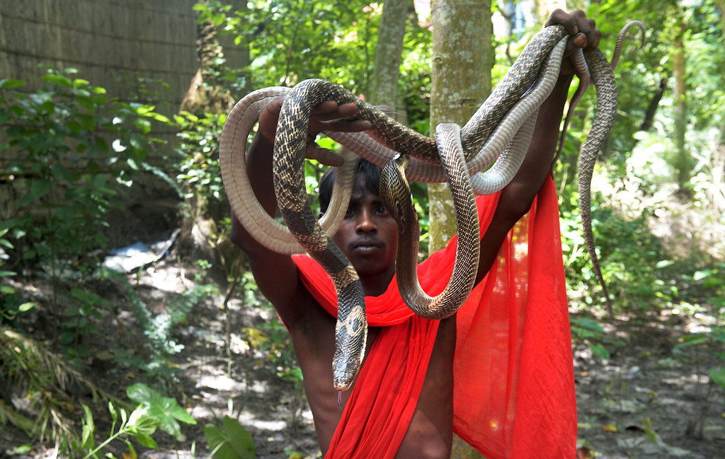 . An Indian snake charmer displays a variety of \'gokhras\' - cobras - to passers by at a snake fair at Purba Bishnupur village, around 85 kms north of Kolkata on August 17, 2013.  Hundreds of people queued in a remote village in eastern India over the weekend to receive blessings from meters-long and potentially deadly snakes, thought to bring them good luck.  DIBYANGSHU SARKAR/AFP/Getty Images