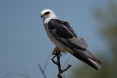 2021_7_4 White tailed kite at Yolo Bypass