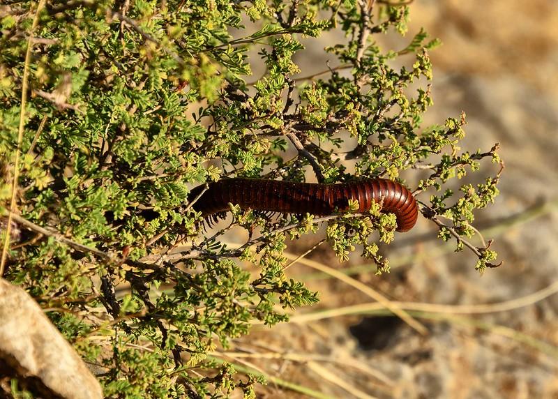 NEA_0619-7x5-Millipede in Bush.jpg