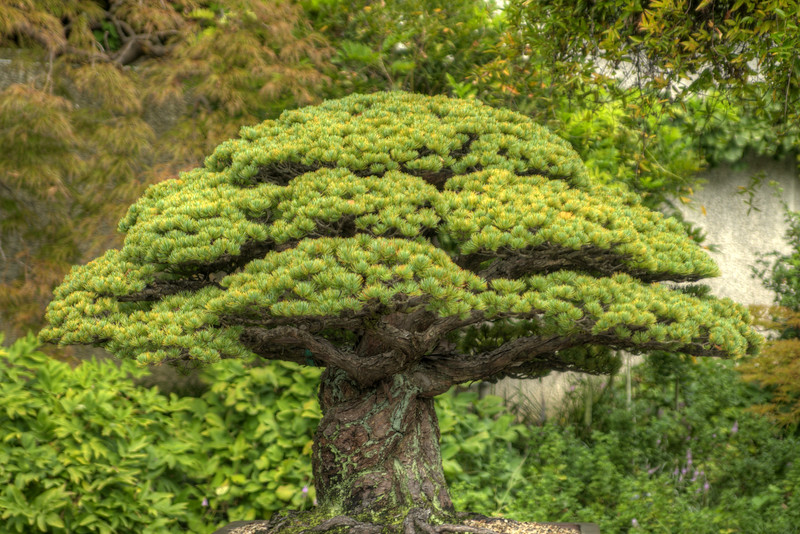 A small bonsai tree on display at the National Bonsai and Penjing Museum at the U.S. National Aroboretum in Washington, D.C. on Tuesday, August 18, 2015. Copyright 2015 Jason Barnette