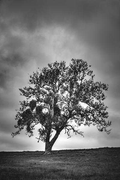 Santa Ysabel tree B&W 12x18.jpg