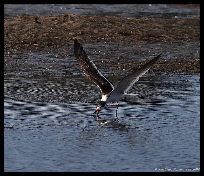 Black Skimmer skimming, Robb Field, San Diego River, San Diego County, California, April 2009