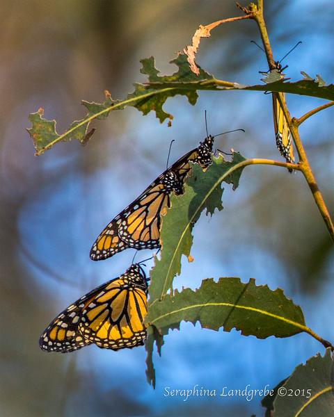 _DSC6051Three Monarchs.jpg