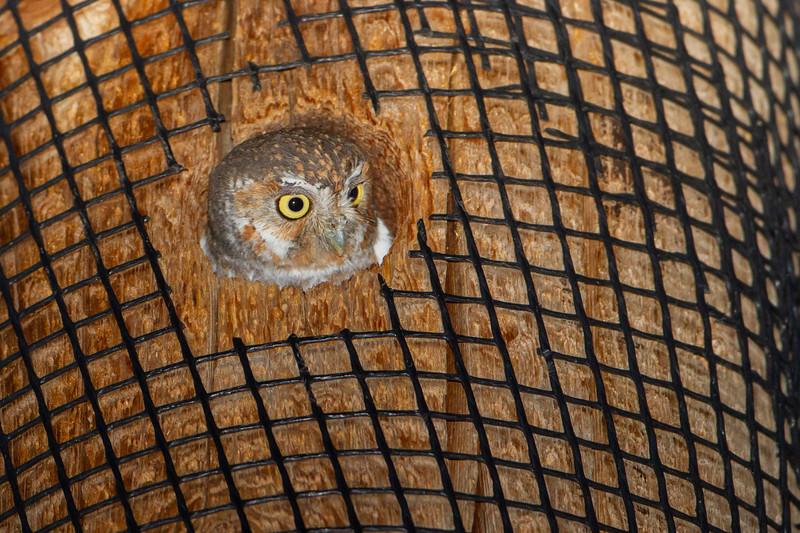 Elf Owl - Sierra Vista, AZ, USA