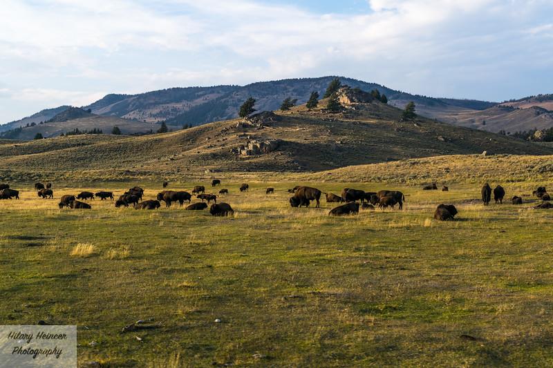 Lamar Valley Bison