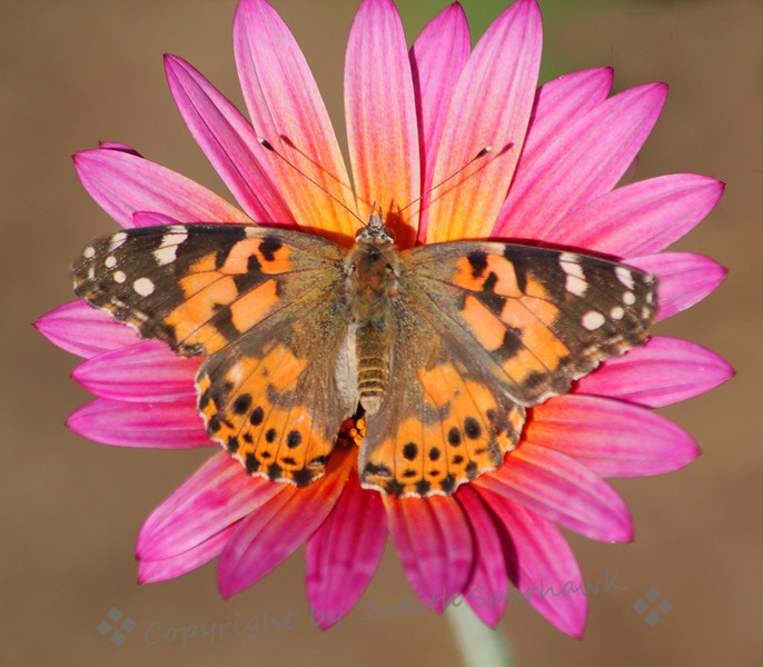 Painted Lady on Daisy ~ I had been admiring this daisy, with it's pinks and oranges.  When the Painted Lady settled down on it, I knew it was time to start snapping.....