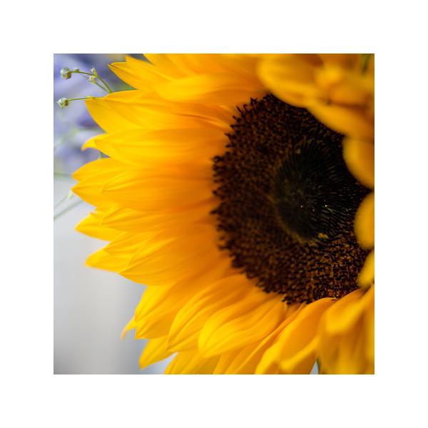 194_Sunflower001_10x10.jpg