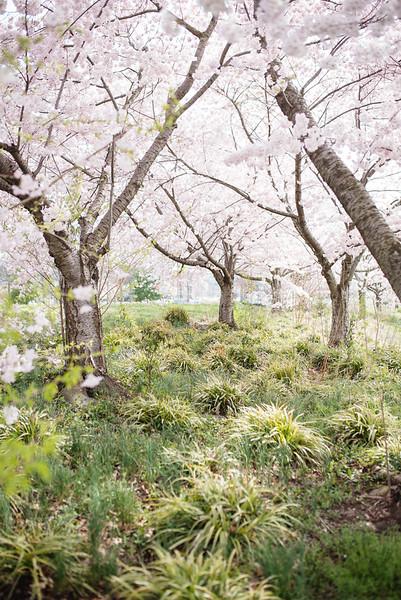 Cherry Blossoms (126 of 182).jpg