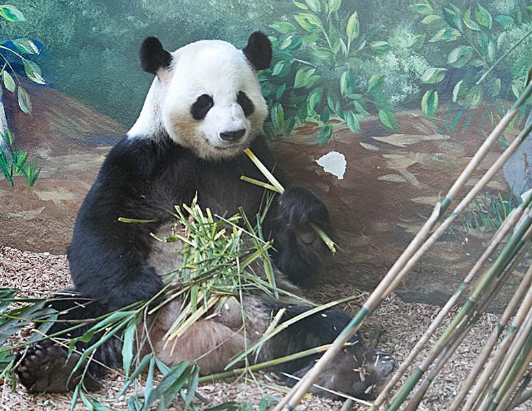 Giant_Panda.jpg