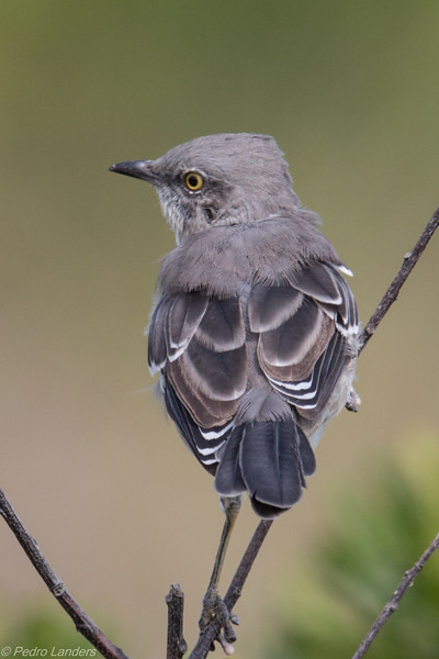 Northern Mockingbird 02