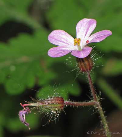 Geranium family, Geraniaceae