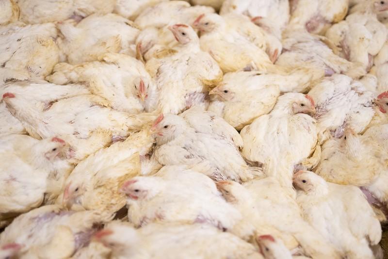 poulets-elevage-pihem-10.jpg