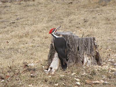 20100315 Pileated Woodpecker