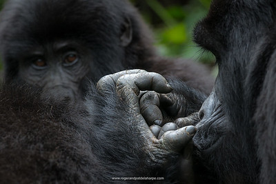 Mountain Gorillas - What a Profound Experience