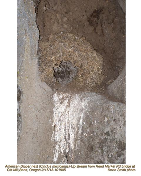 American Dipper nest 101985.jpg