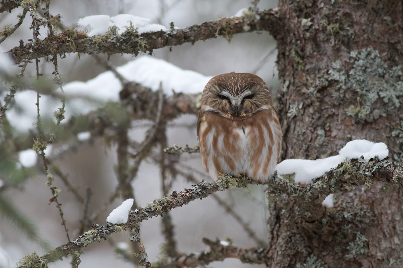 Northern Saw-whet Owls are strictly nocturnal. This one was discovered by following the sound of scolding chickadees [February; Sax-Zim Bog, St. Louis County, northern Minnesota]