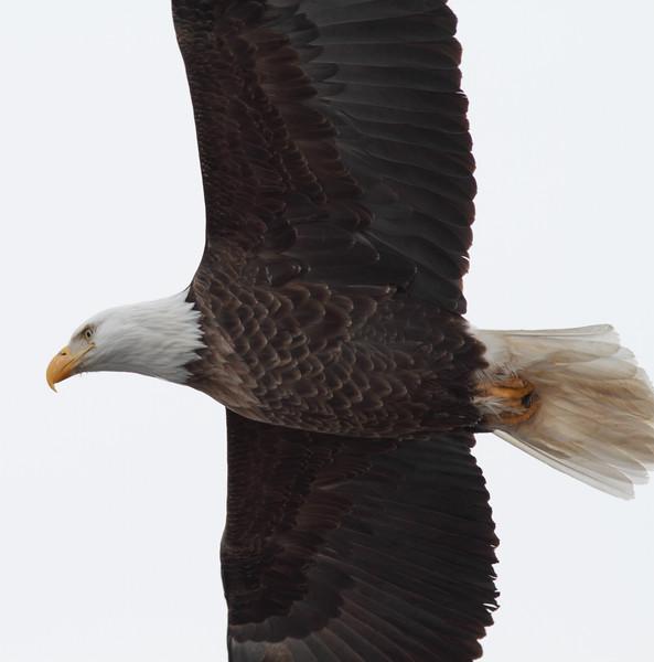 Loc-n-Dam 14-Eagles-Jan 2011_0008.jpg