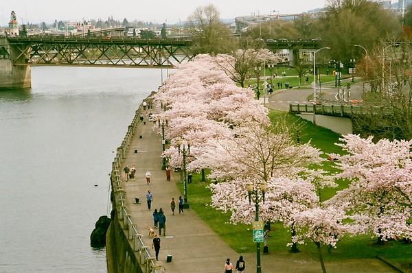 Portlandia Hanami in Fujicolor - 2021/04/01