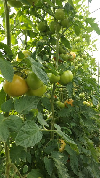 tomato plants wj.jpg