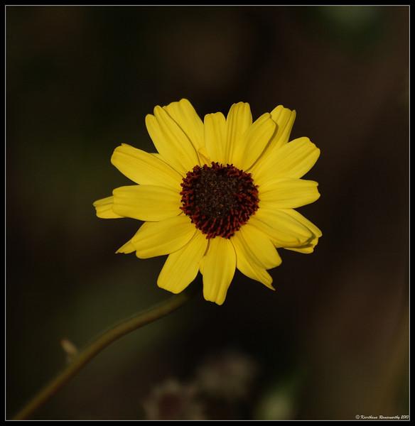 Bush Sunflower, Tijuana River Estuary, San Diego County, California, February 2010