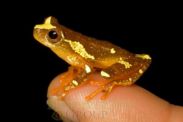 Neotropical Treefrogs (Dendropsophus)