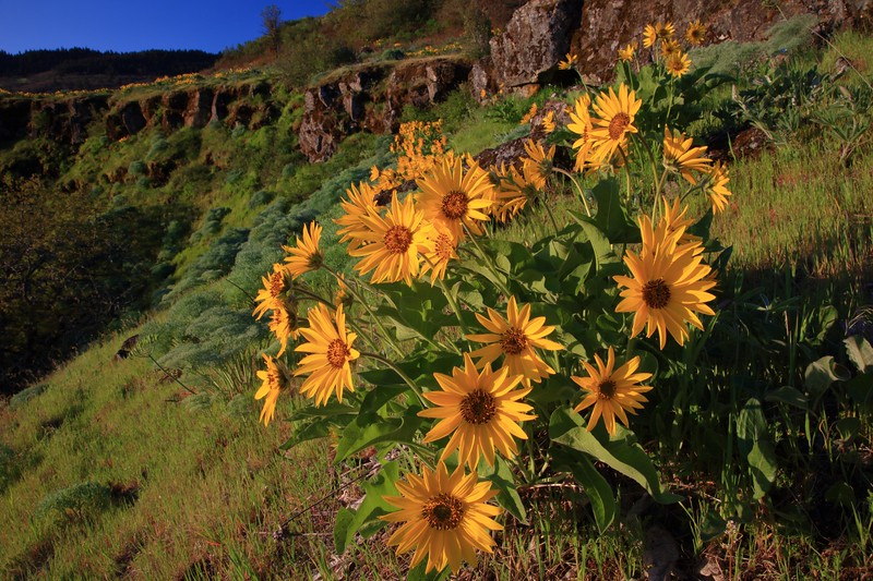 Balsamroot and rimrock 629 raw sf.jpg