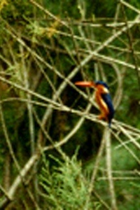 African Pygmy Kingfisher ?