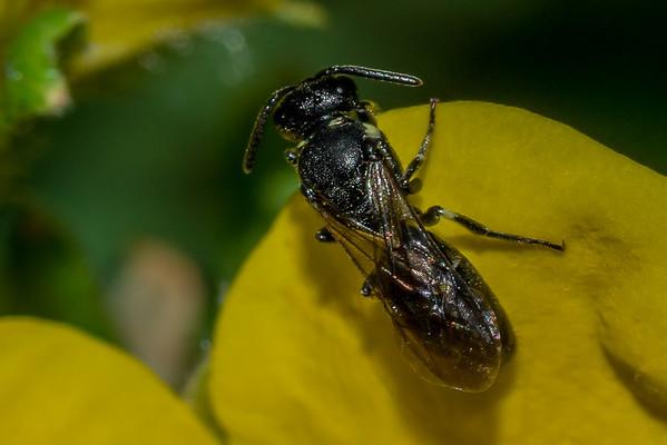 Genus Hylaeus (USA)