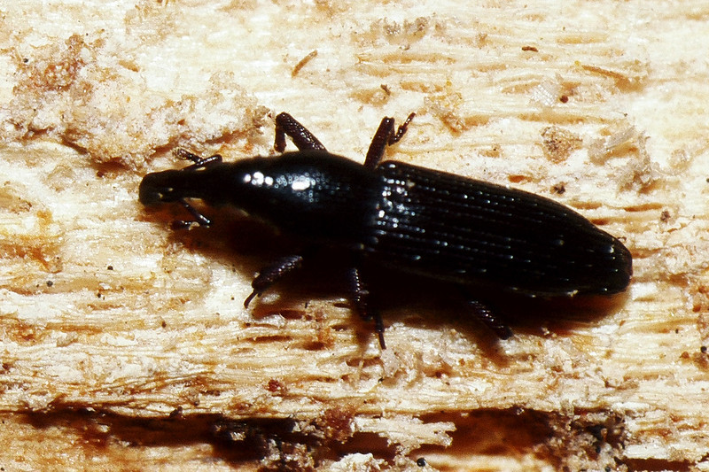 Coleoptera : Curculionidae in dead Reynoldsia sandwicensis, East Maui