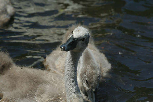 2008 - 4 Swans