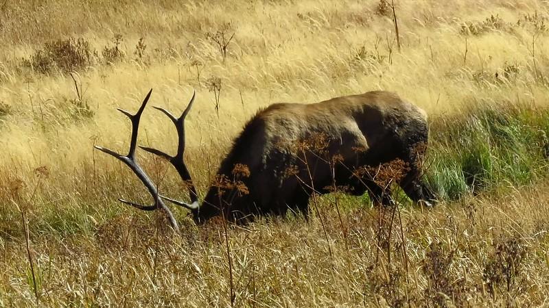 Elk (2).MP4