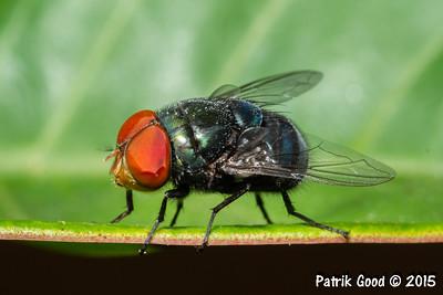 Steelblue Blowfly