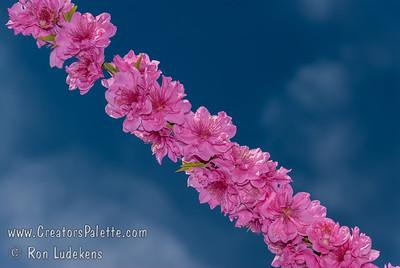 Early Double Pink Flowering Peach (Prunus persica)