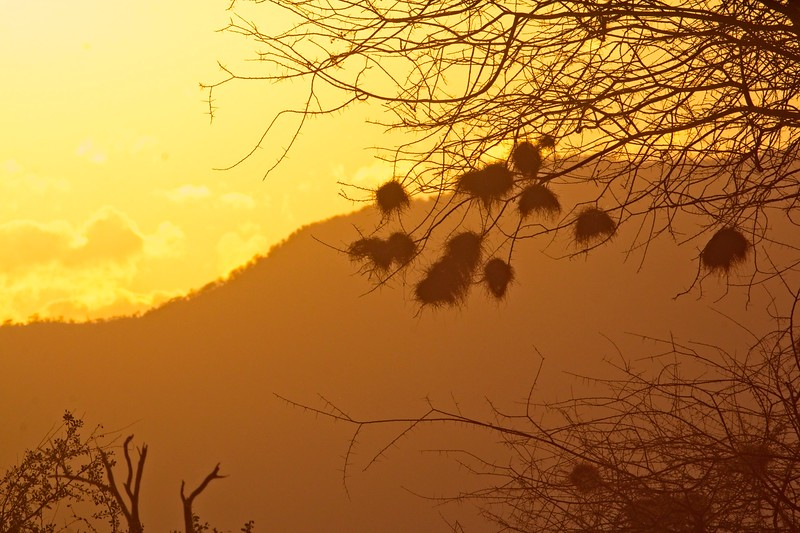 Weaver Bird Nests, Namunyak Conservancy