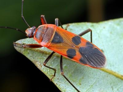 Largidae
