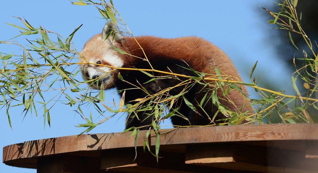 ". Tenzing, a red panda, makes his debut in his new habitat at the San Francisco Zoo in San Francisco, Calif., on Wednesday, May 7, 2014. The 10-month old red panda was born at the Sacramento Zoo and was named after the framed Sherpa Tenzing Norgay, who scaled Mt. Everest in 1953 with Sir Edmund Hillary. Tenzing\'s habitat, called The Red Panda Treehouse was designed and built by Pete Nelson and his crew from the  Animal Planet television show ""Treehouse Masters.\"" (Dan Honda/Bay Area News Group)"
