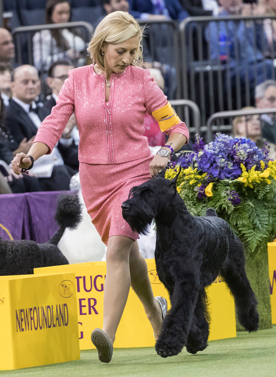 . Handler Katie Bernardin leads Ty, a giant schnauzer, in the working group competition during the 142nd Westminster Kennel Club Dog Show, Tuesday, Feb. 13, 2018, at Madison Square Garden in New York. Ty won best in working group. (AP Photo/Mary Altaffer)