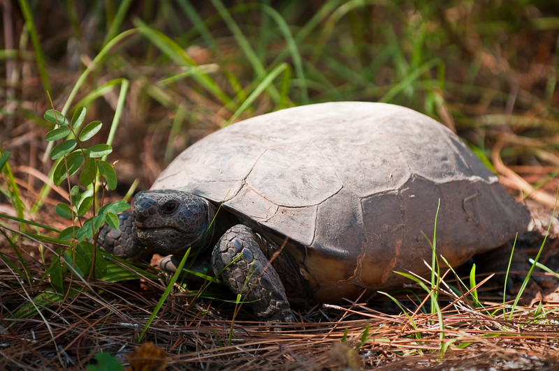 Land Tortoise Halpatiokee Regional Park Stuart, Florida © 2010
