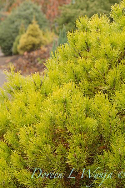 Pinus mugo 'Golden Mound'_834.jpg