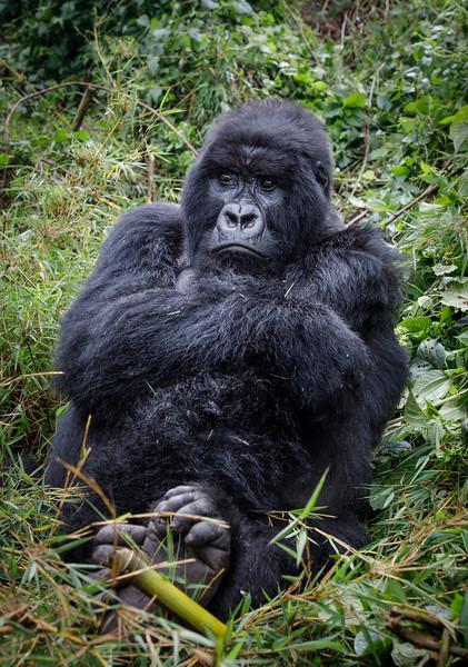 African_Apes_0218_PSokol-4744.jpg