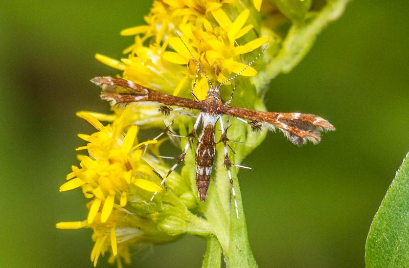 Geina bucksi Buck's Plume Moth 6093 Family Pterophoridae Gray Jay Way Sax-Zim Bog MN IMG_4212.jpg