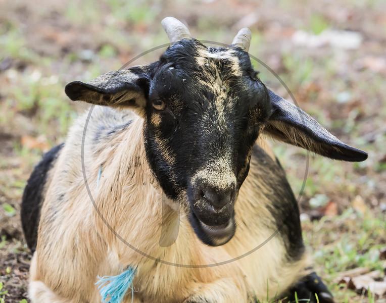 Goats-221.jpg