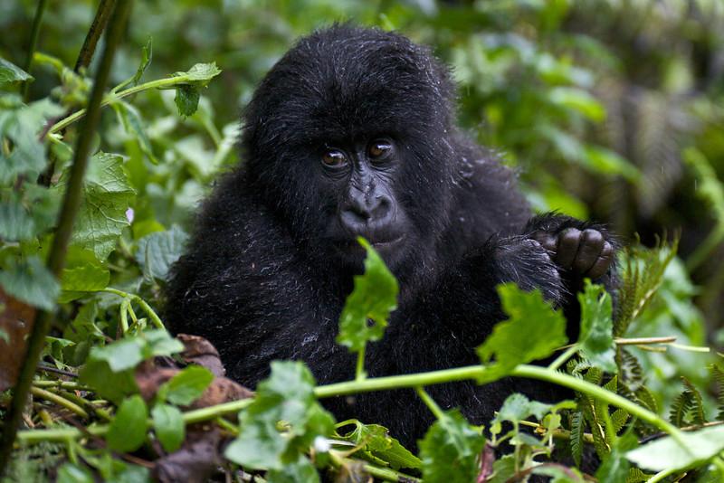 Gorillas  8399.jpg