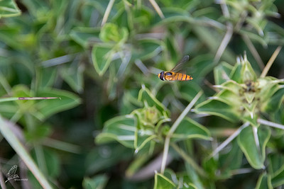Hoverfly (1)