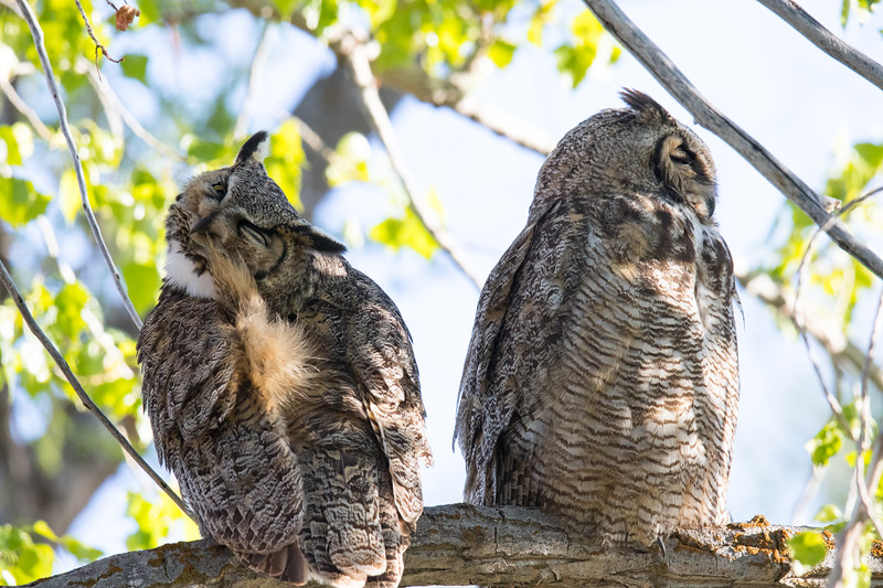 Great Horned Owls Malheur NWR-2.jpg