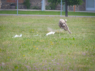 Lure Coursing Monday May 28,