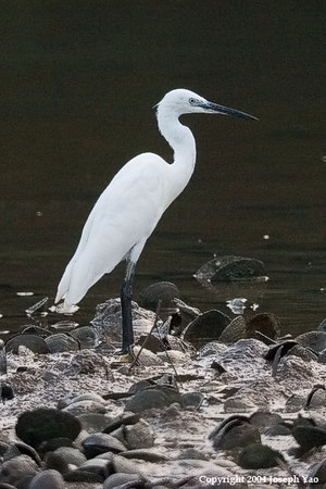 EGRETS, POND HERONS AND BITTERNS