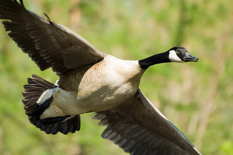 Canada Goose in Flight D6224