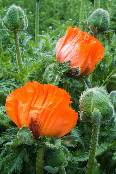 Poppies were all over Scotland.